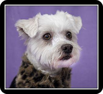 Maltese Mix Dog for adoption in Ft. Bragg, California - Miranda