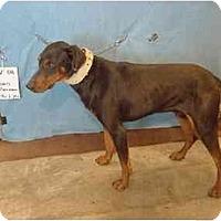 Adopt A Pet :: Dean/Rescued! - Zanesville, OH