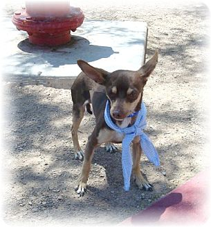 Chihuahua Mix Dog for adoption in Las Vegas, Nevada - Chico