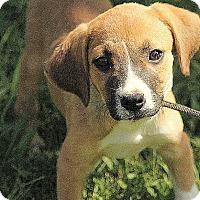 Adopt A Pet :: Berkeley - Brattleboro, VT