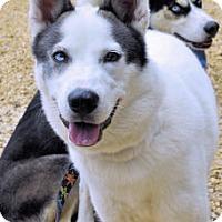 Adopt A Pet :: Gustaf - Bowling Green, VA