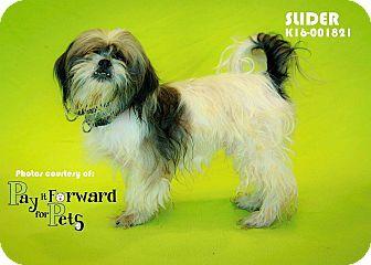 Shih Tzu Mix Dog for adoption in Seville, Ohio - Slider