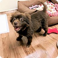 Adopt A Pet :: Wolfie - Tavares, FL