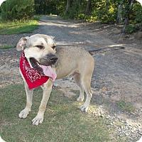 Mastiff Mix Dog for adoption in Albemarle, North Carolina - Miles