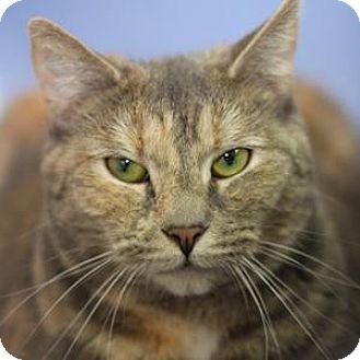 Domestic Shorthair Cat for adoption in Decatur, Georgia - KITSUNE