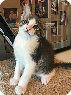 Russian Blue Kitten for adoption in ROSENBERG, Texas - Lafayette