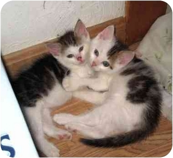 Domestic Shorthair Kitten for adoption in Boston, Massachusetts - Robbie and Benjamin