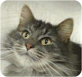 Maine Coon Cat for adoption in Howell, New Jersey - Little Dee