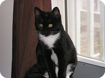 Domestic Shorthair Kitten for adoption in Monroe, Georgia - Shia