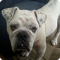Adopt A Pet :: Chester - Chicago, IL