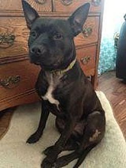 American Pit Bull Terrier Mix Dog for adoption in Fredericksburg, Virginia - Braveheart- Smiles Forever Rescue