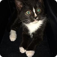 Adopt A Pet :: Black white tuxedo kitten F - Manasquan, NJ