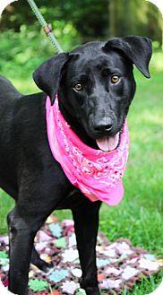 Labrador Retriever Mix Dog for adoption in Brattleboro, Vermont - Anya