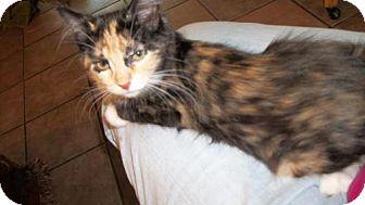 Calico Kitten for adoption in Lacon, Illinois - Bella