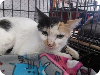 Domestic Shorthair Cat for adoption in Alamo, California - Willow