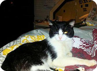 Domestic Longhair Cat for adoption in Norristown, Pennsylvania - Tux davis