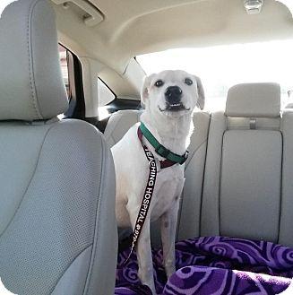 Labrador Retriever Mix Dog for adoption in Houston, Texas - Barker
