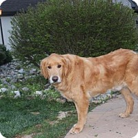 Adopt A Pet :: Max (Golden Boy) - Harrisburg, PA