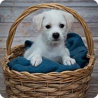 Adopt A Pet :: Bentley - Elgin, IL