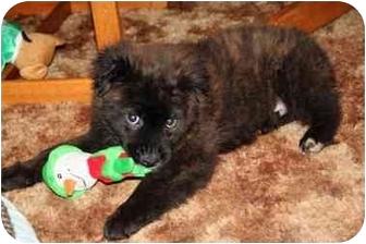 Spaniel (Unknown Type)/Labrador Retriever Mix Puppy for adoption in Racine, Wisconsin - Krusty