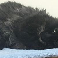 Domestic Mediumhair Cat for adoption in Oakland, Oregon - Colonel