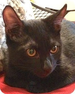 Domestic Shorthair Cat for adoption in Longview, Washington - Blackie and Smokey