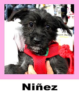 Schnauzer (Miniature)/Chihuahua Mix Dog for adoption in Plano, Texas - Ninez