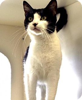 Domestic Shorthair Cat for adoption in Houston, Texas - Dora the Adorable Cat