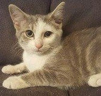 Domestic Shorthair Cat for adoption in Hampton, Virginia - EMERALD