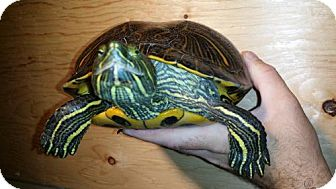 Turtle - Other for adoption in Pefferlaw, Ontario - Dolce