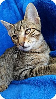Domestic Shorthair Cat for adoption in Hornell, New York - Jax