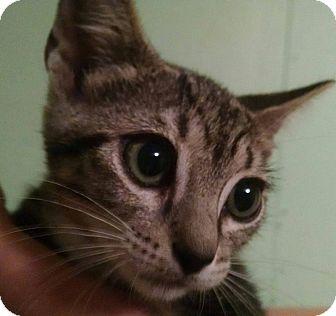Domestic Shorthair Kitten for adoption in Savannah, Georgia - Bailey