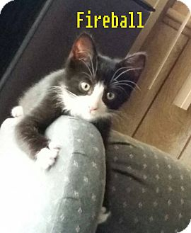 Domestic Shorthair Cat for adoption in Flint, Michigan - Fireball