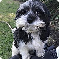 Adopt A Pet :: MR. MIYAGI - Los Angeles, CA