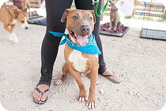 Pit Bull Terrier/Hound (Unknown Type) Mix Dog for adoption in Pittsburgh, Pennsylvania - Neo