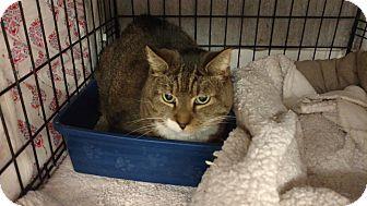 Domestic Shorthair Cat for adoption in Acushnet, Massachusetts - Bright Eyes