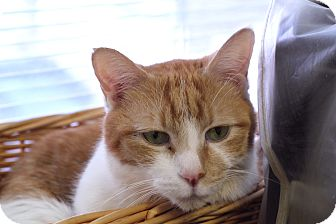 Domestic Shorthair Cat for adoption in Chicago, Illinois - Pringle