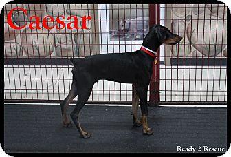 Doberman Pinscher Puppy for adoption in Rockwall, Texas - Caesar