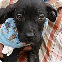 Adopt A Pet :: Von Rockefeller aka Rockie - Sacramento, CA