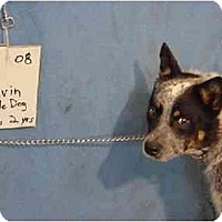 Adopt A Pet :: Calvin - Rescued - Zanesville, OH