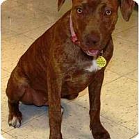 Adopt A Pet :: Niyla - Gilbert, AZ