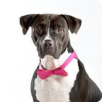 Adopt A Pet :: Suki - Dallas, TX