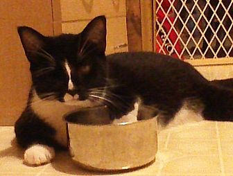 Domestic Mediumhair Cat for adoption in Salisbury, North Carolina - Faith