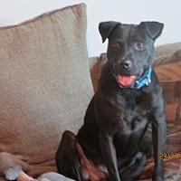 Labrador Retriever Mix Dog for adoption in San Antonio, Texas - A267827 Hank