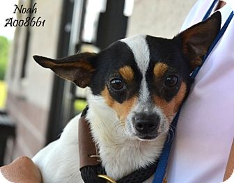 Jack Russell Terrier/Rat Terrier Mix Dog for adoption in Austin, Texas - Noah in Conroe