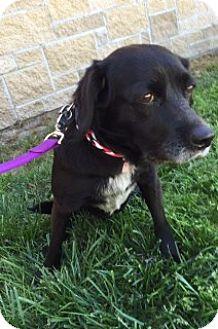 Terrier (Unknown Type, Medium) Mix Dog for adoption in Joplin, Missouri - Violet 108824