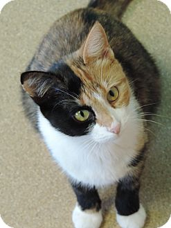 Domestic Shorthair Cat for adoption in Brookings, South Dakota - Chanel