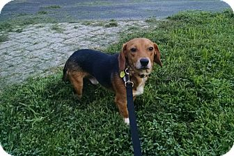 Beagle Mix Puppy for adoption in Waldorf, Maryland - Harry Henderson