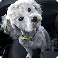 Adopt A Pet :: Archie - Salem, OR