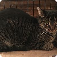 Adopt A Pet :: Stella - Bedford Hills, NY